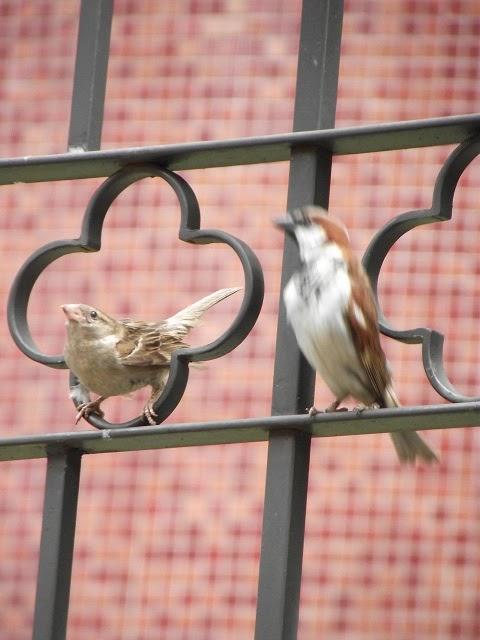 pássaro inicia ritual de acasalamento