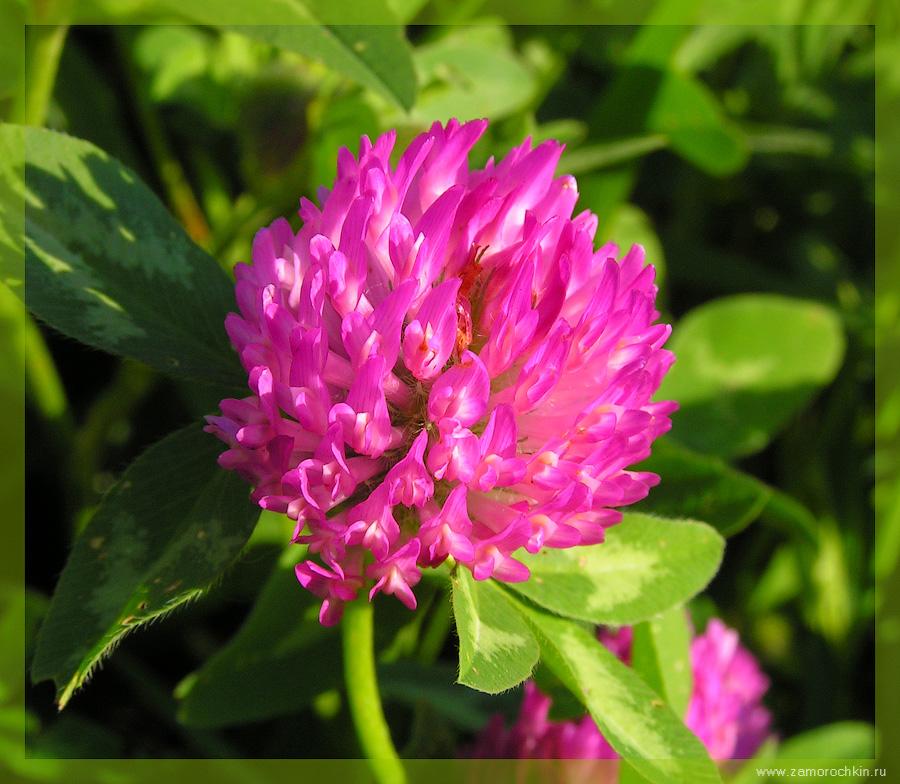 Trifolium praténse
