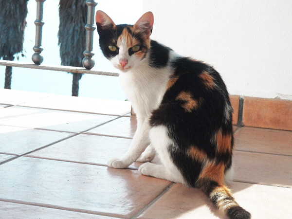multi-colored calico cat
