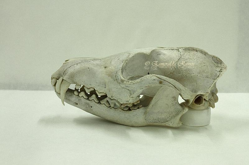 Cuaderno de campo. Rastros e indicios de fauna: Cráneos de Tejón ...