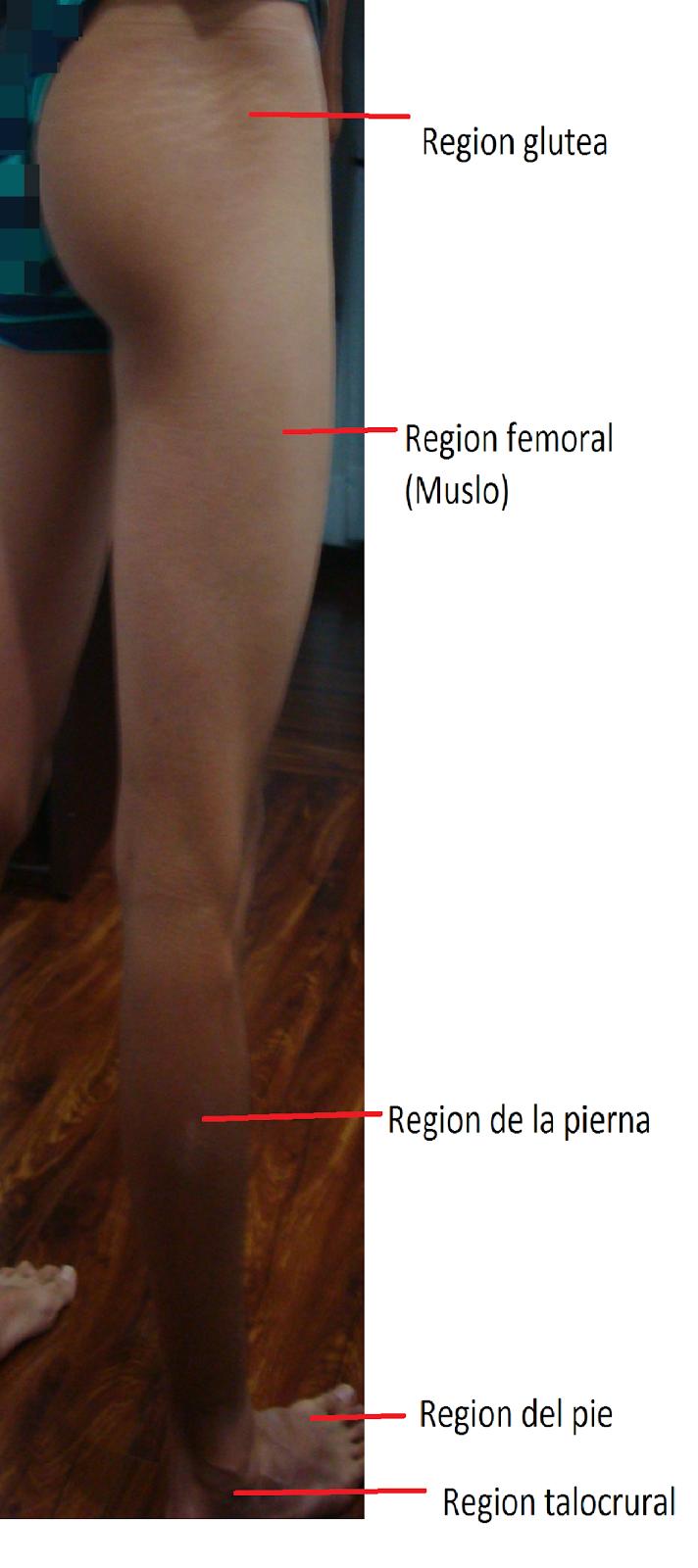 Morfofisiologia.: Anatomia
