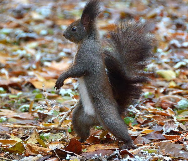 Funny animals of the week - 3 January 2014 (40 pics), black squirrel walks like human
