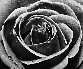 the significance of the black rose For too long, not enough has been done to protect the fighting men and women  in our armed forces it's time for us to show the nation that the brave people.