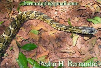 serpientes argentinas Ñacaniñá de monte Mastigodryas bifossatus