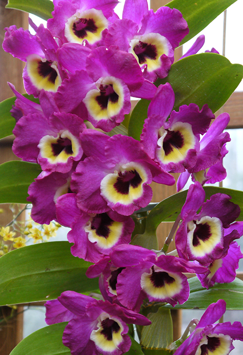 The orchid column how to grow dendrobium nobile How do you care for orchids after they bloom