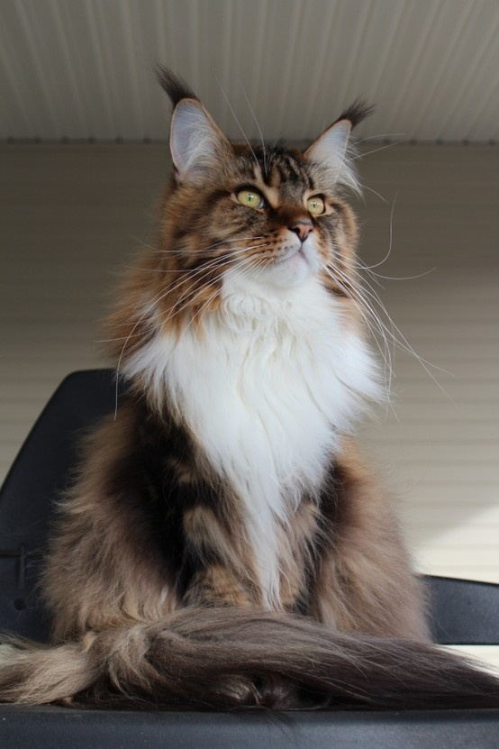 Silver patch maine coon cat color