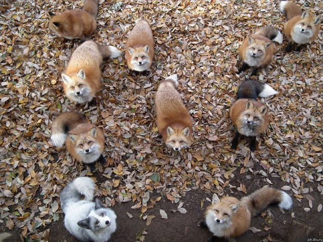 funny animal pictures, troop of foxes