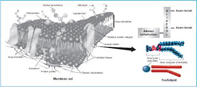 Struktur membran sel dan fosfolipid