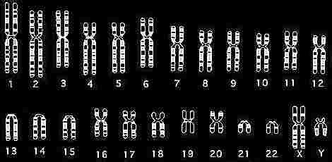 cromosomas-cariotipo