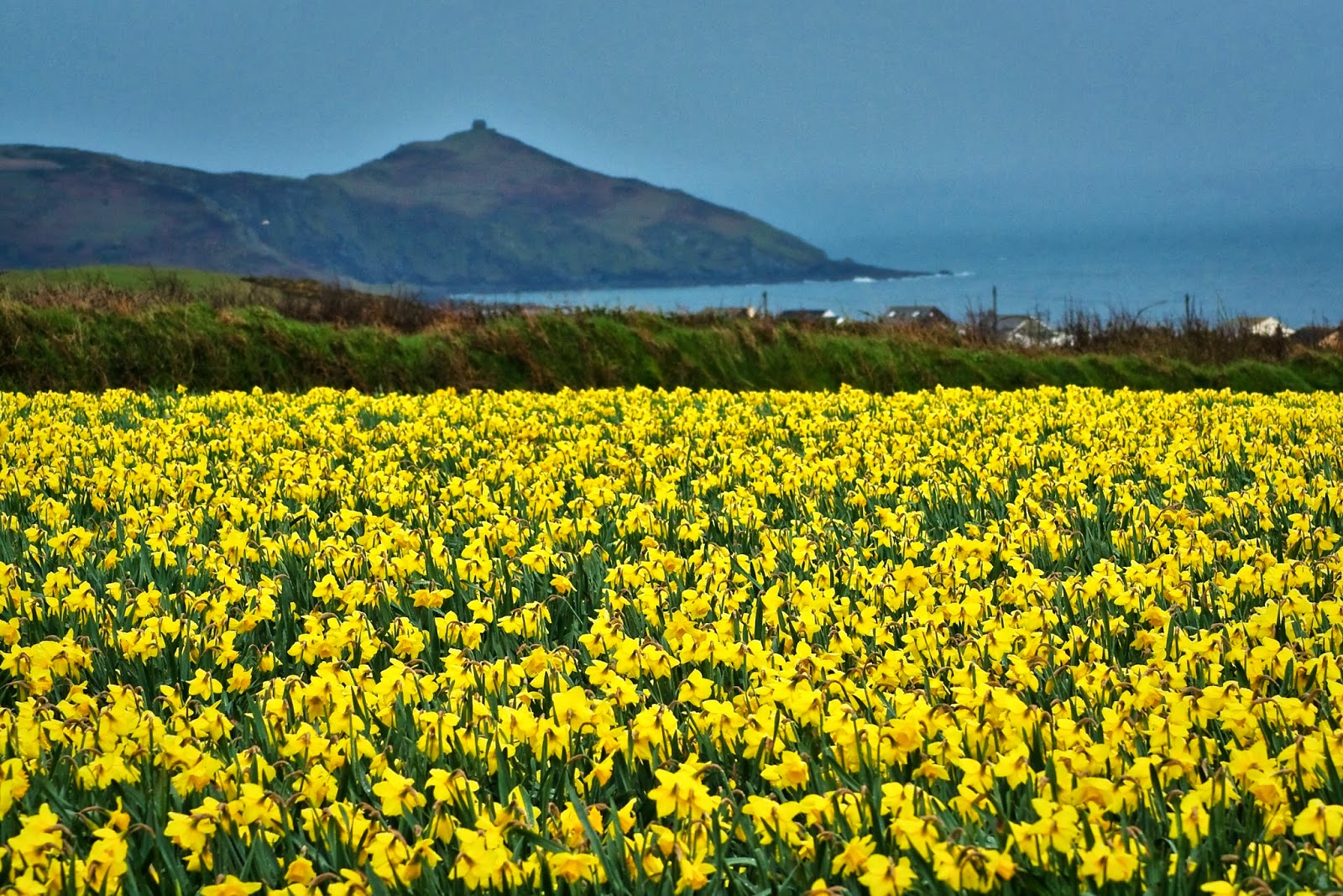 Daffodils by the Sea in Cornwall, UK