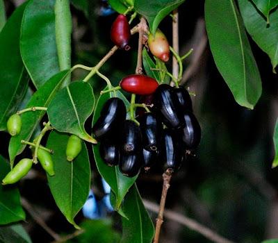 Syzygium cumini, Syzygium jambolanum, Eugenia cumini, Eugenia jambolana