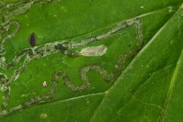 pupal chamber of Phyllocnistis insignis on coltsfoot leaf