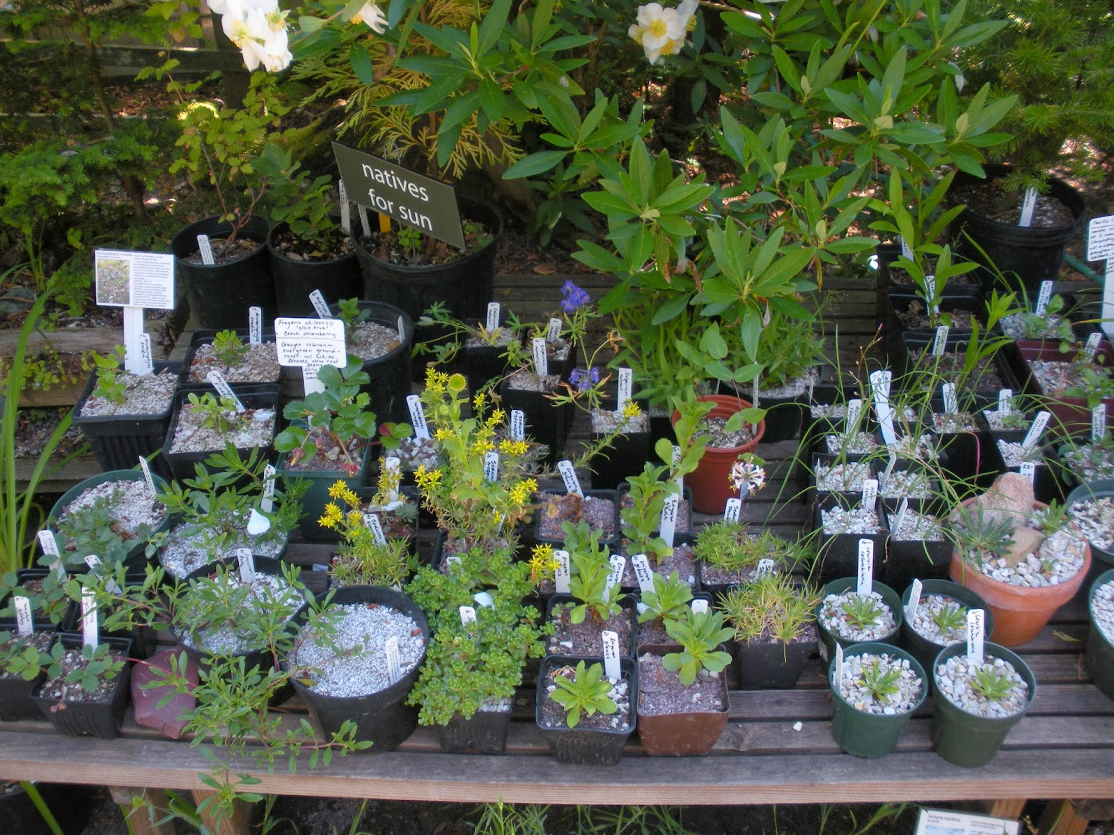 A Selection Of Native Plants For Sunny Conditions I Liked The Use Gravel Topdressing Sedums And Lewisia Yes Please