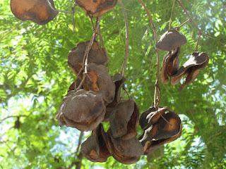 עץ הסיגלון - פרות עם זרעים.