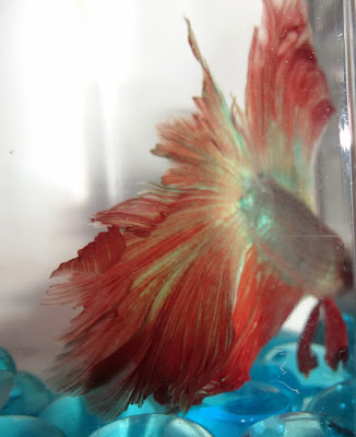 double tail betta splenden