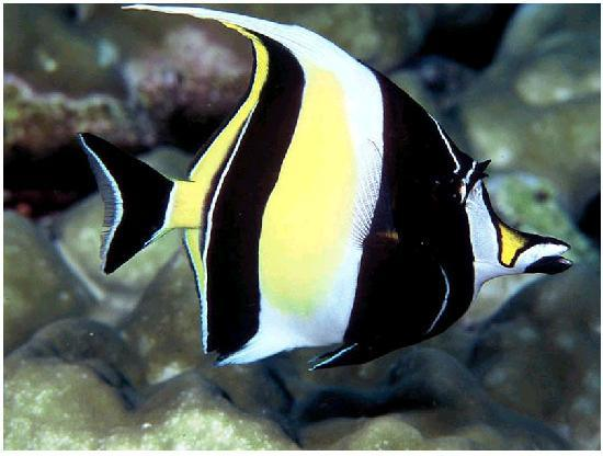 Ifi top 10 top 10 most colorful and beautiful fishes in for Moorish idol fish