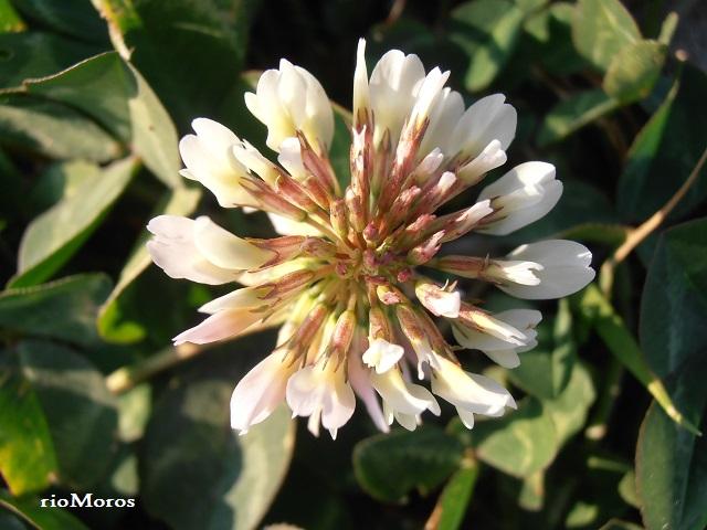 Flores de TRÉBOL BLANCO: Trifolium repens