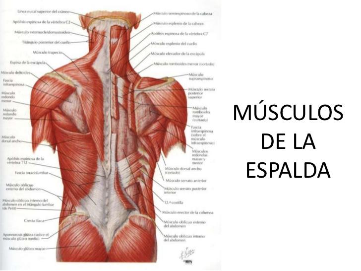 Dorable Diagrama De Músculo De La Espalda Festooning - Anatomía de ...
