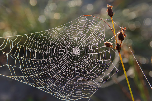 Spider Web in Heavy Dew