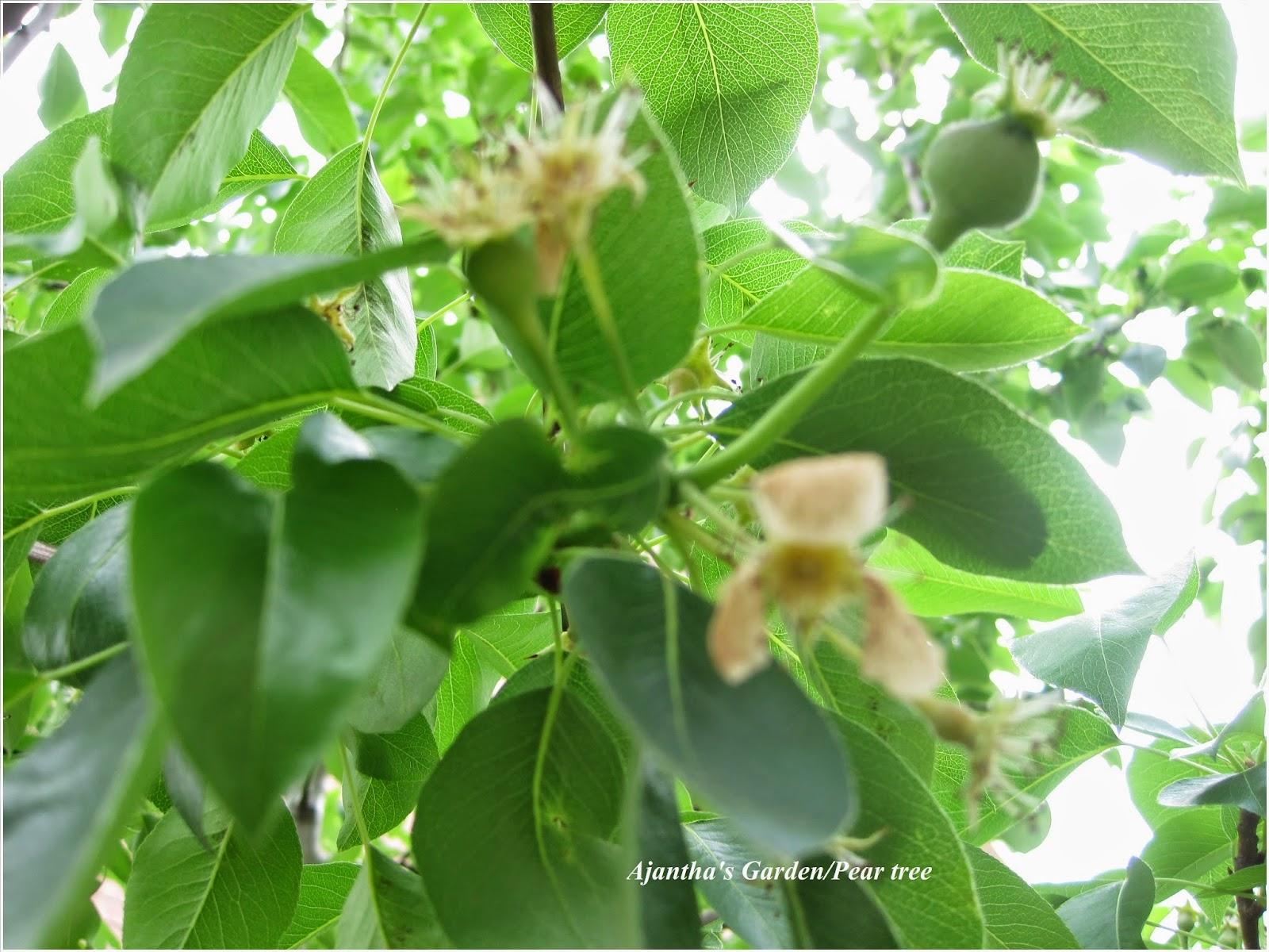 Ajantha's Garden/ Pear tree