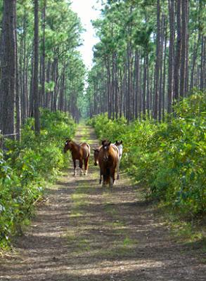 Caballos Abaco en un camino del bosque