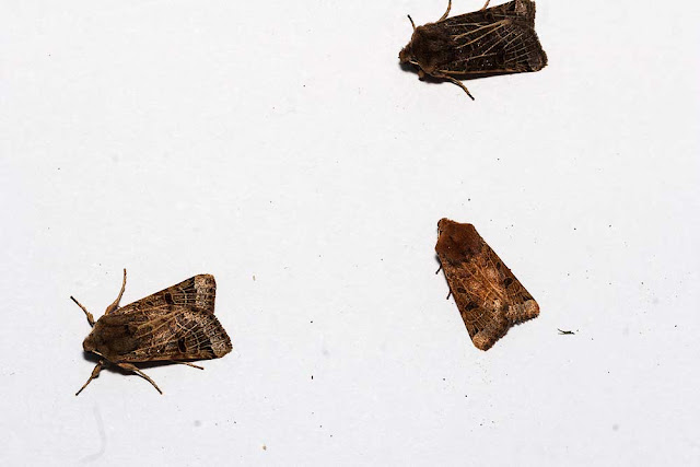 Lunar Underwing showing the variability of colouration. - Photographed in Milton Keynes