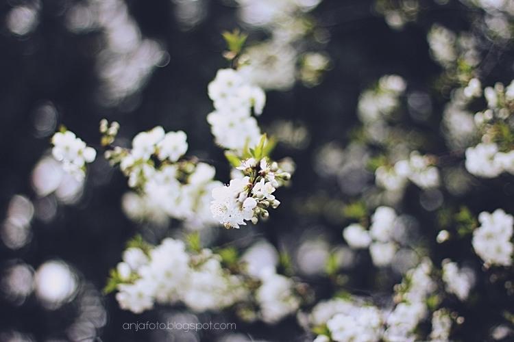wiśnia, bokeh, cherry blossom