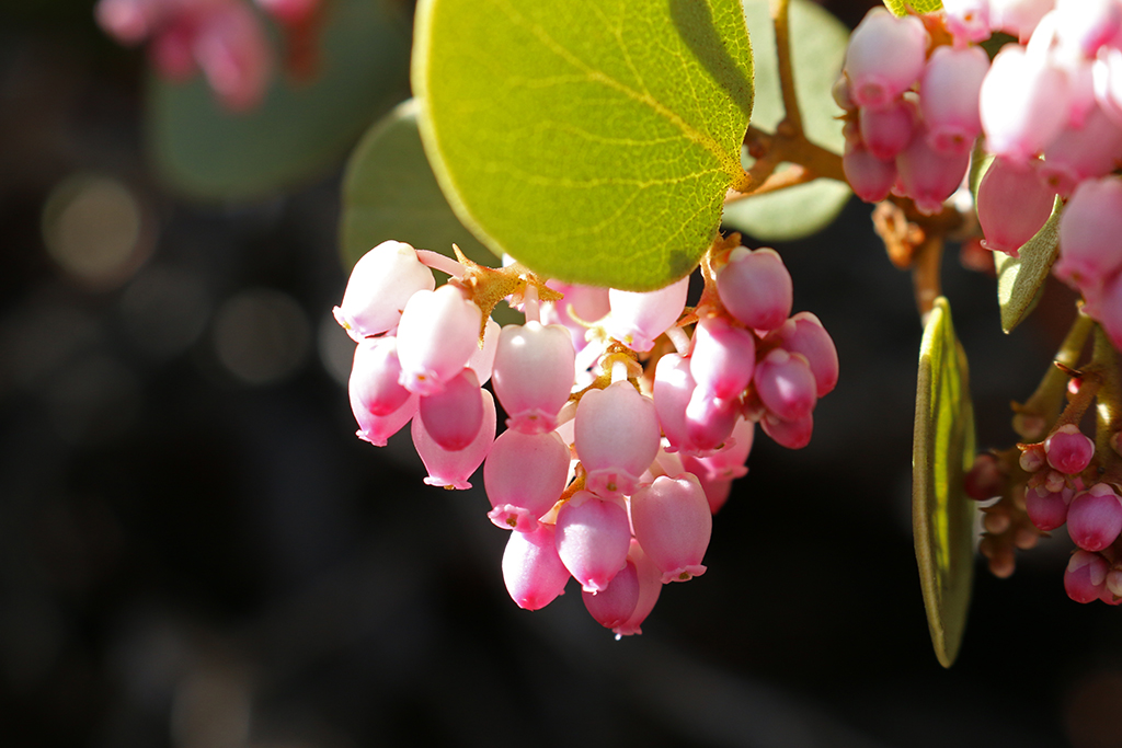 Manzanita in Bloom