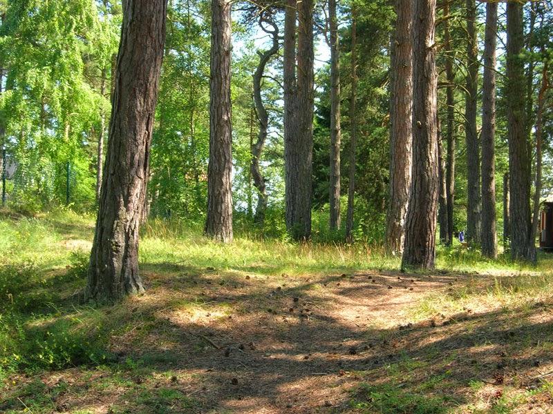 Bosco costiero di pini