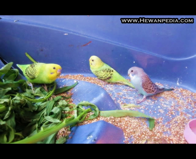 Tips Memilih Makanan Burung Parkit