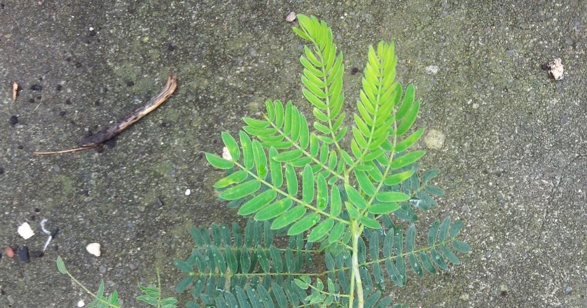 Leucaena Leucocephala Miracle Lead Tree Fixes Nitrogen Koa Haole 20//150 Seeds