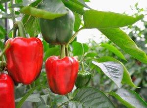 cara-menanam-paprika.jpg