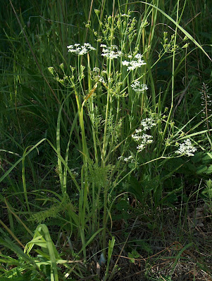 Caraway (Carum Carvi) Overview, Health Benefits, Side effects