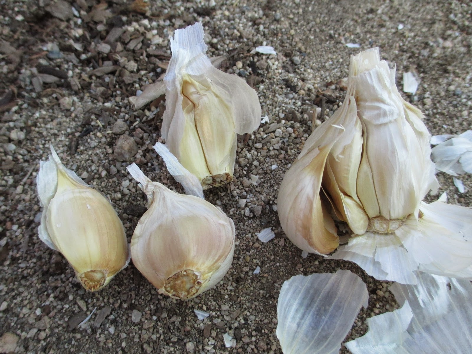 andie 39 s way growing garlic. Black Bedroom Furniture Sets. Home Design Ideas