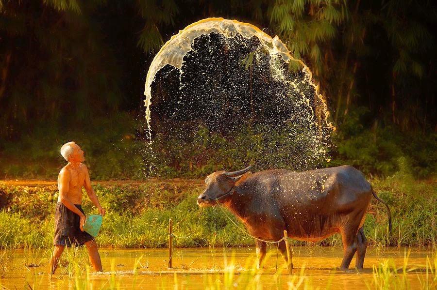 Tắm cho trâu