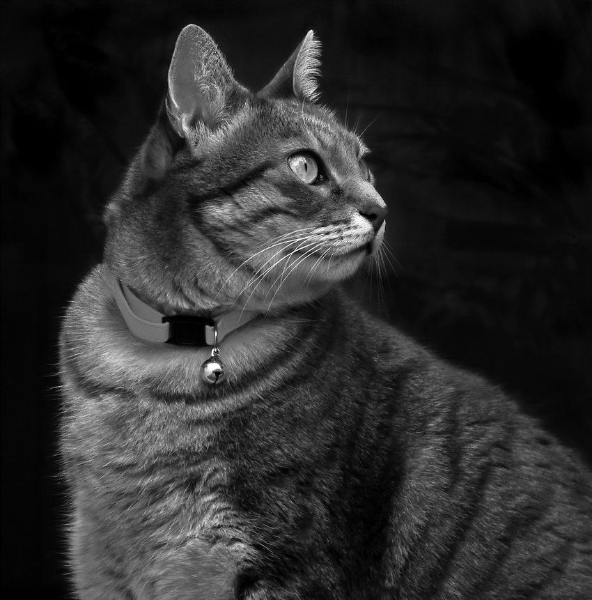 Foto a preto e branco de uma gata cinzenta com um guizo ao pescoço