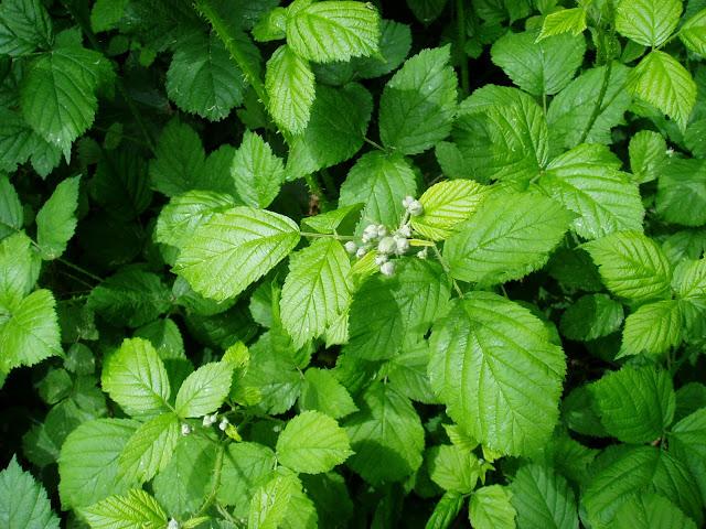 ZARZAMORA: Rubus ulmifolius