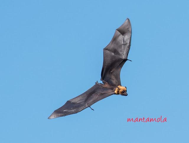 Flying Fox, Thailand