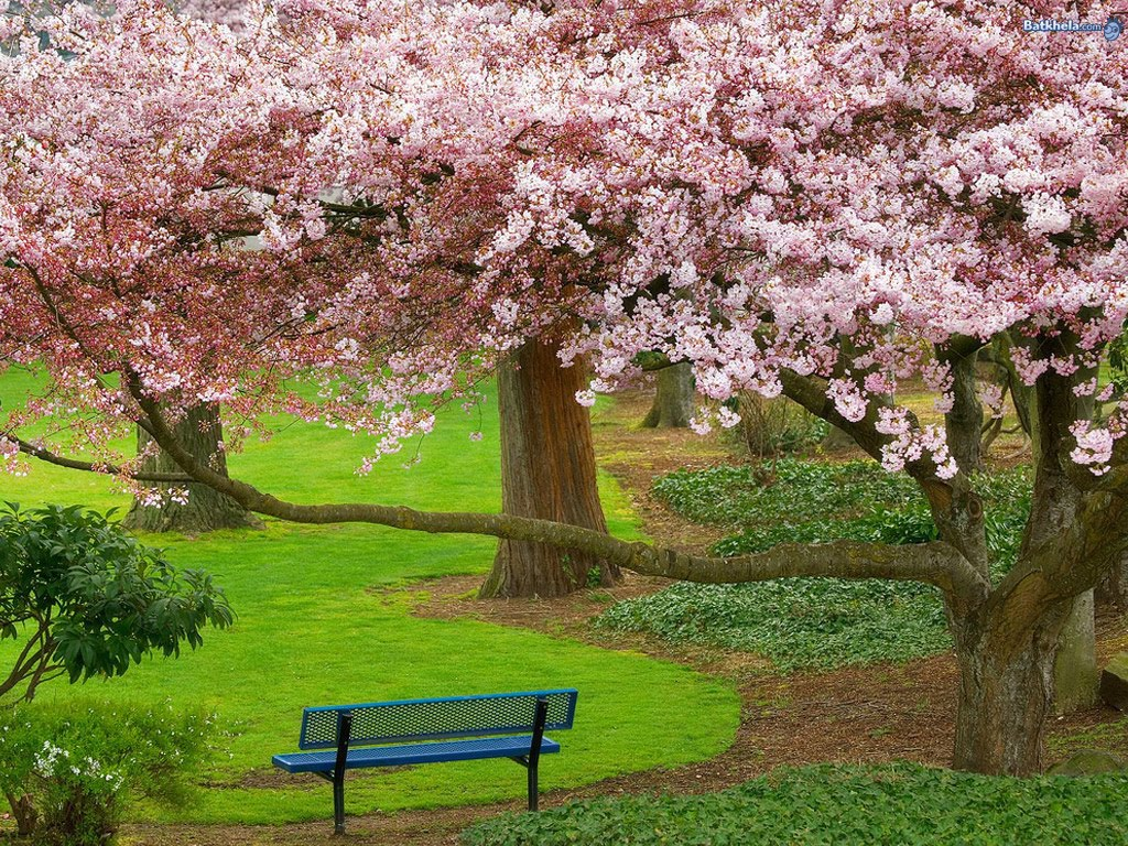 Beautiful Wallpaper New Sakura Blossom Wallpaper