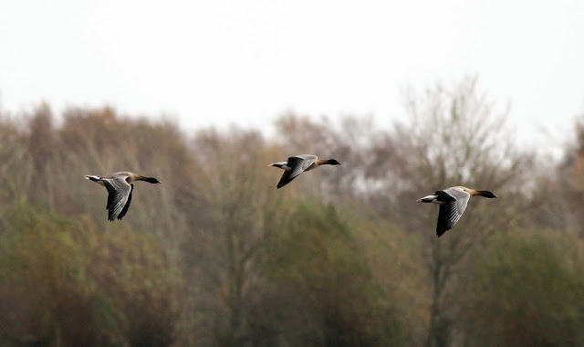 bagginsontheloose, flight, geese