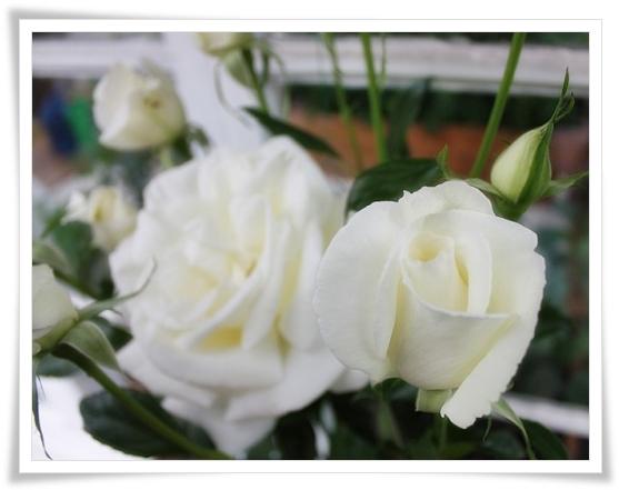 Vita väldoftande rosor