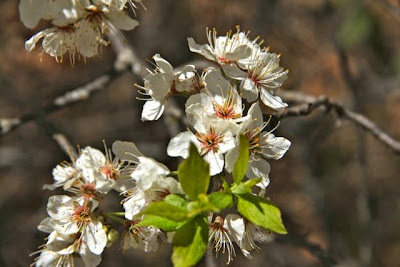 serviceberry / shadbush Amelanchier sp.