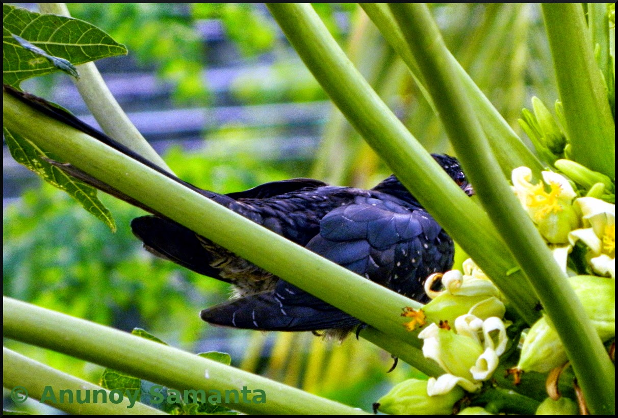 Cuckoo hiding behind Papaya stalks