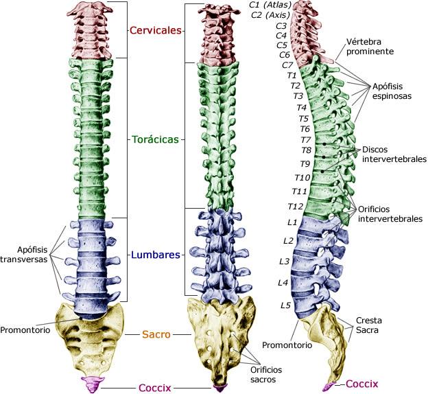 huesos columna vertebral: