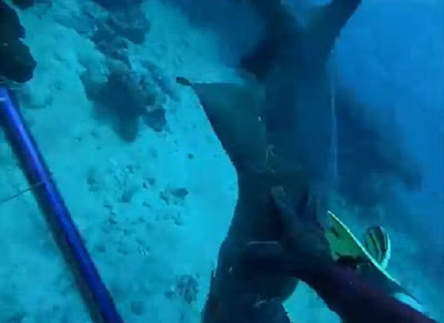 Nurse shark latches onto spearfisherman's catch and diver fights off the attack