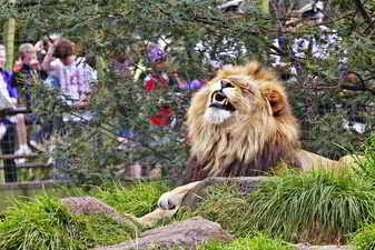 León en el zoológico
