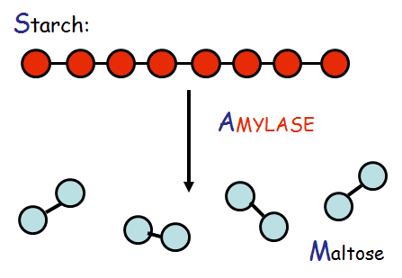 digestion of starch by salivary amylase Lab 1: digestion starch digestion by salivary amylase pp 151-153 goals: you should be able to 1 describe the chemical process of starch digestion.