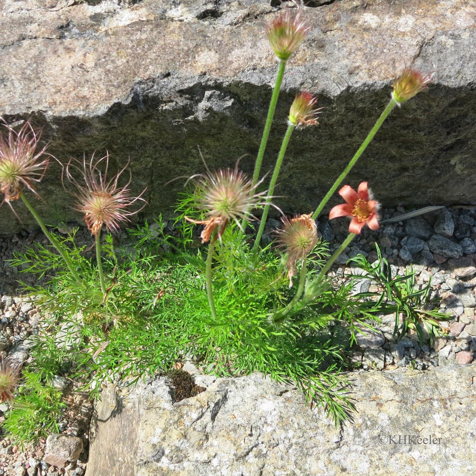 alpine plants. Gothenburg Botanic Garden, Sweden