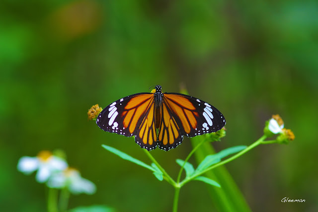 雞南山散步,展開的黑脈樺斑蝶好像飛機
