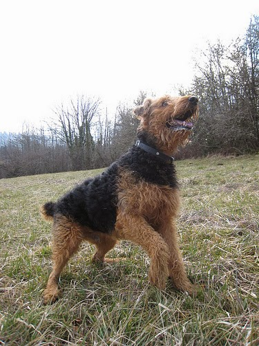 different breeds of dogs: airedale puppies  airedales  different breeds of dogs pictures